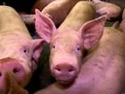 Custos de produção preocupam setores da cadeia de suíno em SC