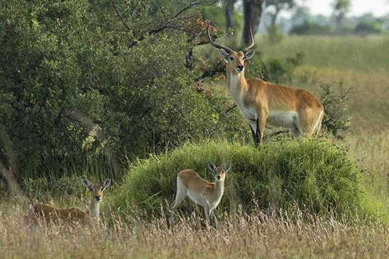 Um macho e dois filhotes do antílope dos pântanos, o lechwe vermelho, nativo do Delta do Okavango  (Foto: © Haroldo Castro/ÉPOCA)