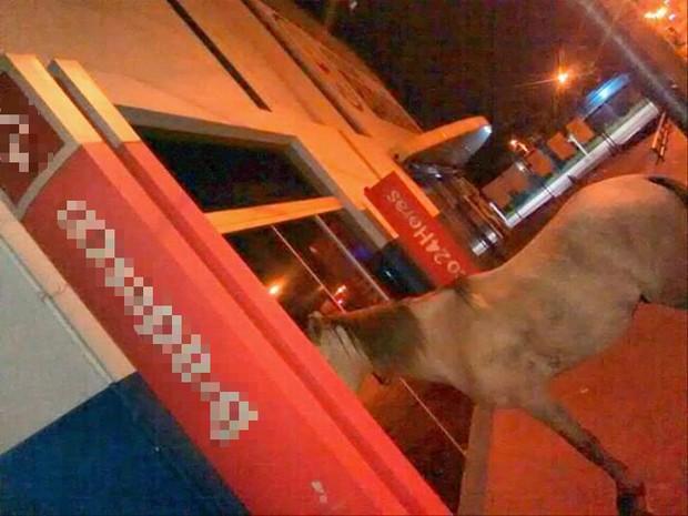 Cavalo foi visto na porta de banco às 3h da madrugada (Foto: Fabíola Sélis/TV Anhanguera)