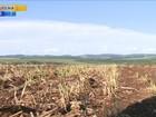 Solução para falta de milho pode chegar com a próxima safra do grão