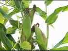 No agreste de PE, agricultores comemoram a colheita do milho