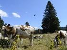 Exército suíço 'rouba' água da França para matar sede de vacas
