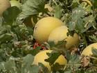 Alta do dólar e do preço no mercado impulsionam a exportação de melão
