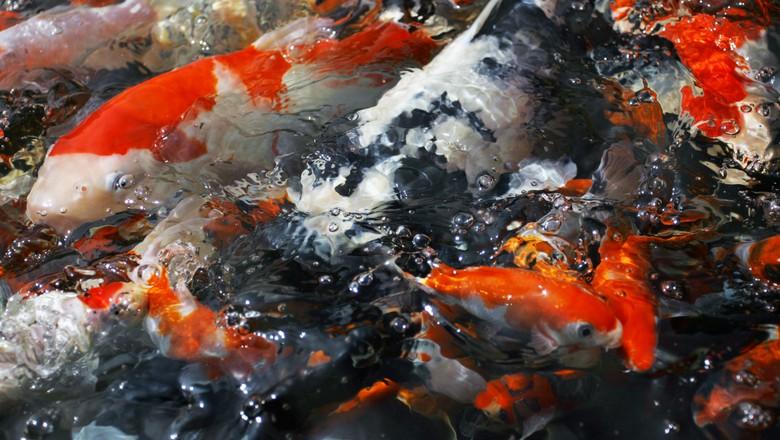 Carpas ornamentais nishikigoi globo rural peixe for Como criar peces koi