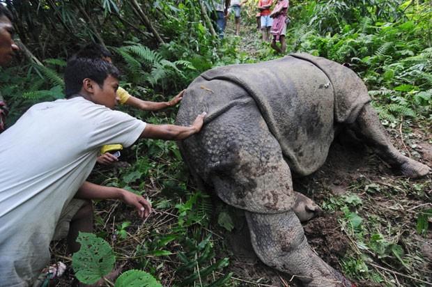 Moradores e veterinários tentam acalmar exemplar de rinoceronte-indiano que sobreviveu ao ataque de caçadores e teve seu chifre retirado. (Foto: AP)