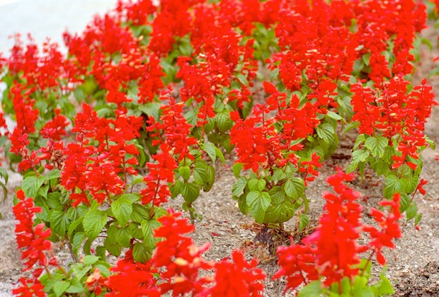 Sálvia-vermelha ()