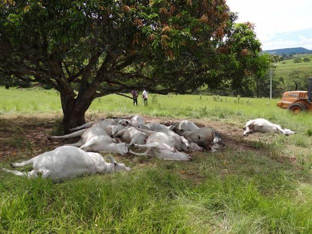 Cerca de 16 bois morreram eletrocutados em Botucatu (Foto: Divulgação / valéria Cuter)