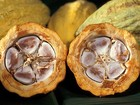 Cacau vira 'arma' da agricultura contra desmatamento da Amazônia