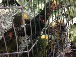 Papagaios seriam vendidos em feiras, segundo a GM (Foto: Reprodução/TV TEM)