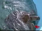 Tartarugas iniciam temporada de desova no Espírito Santo