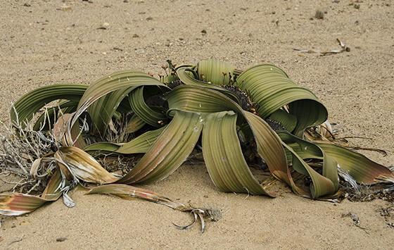 As aparências enganam: a welwítschia possui apenas duas folhas  (Foto: © Giselle Paulino)