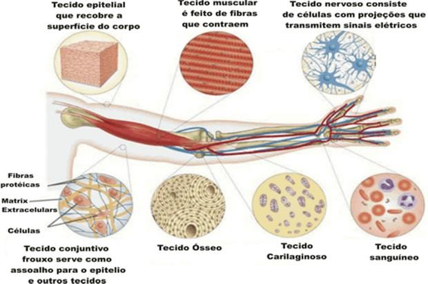 Principais tecidos animais (Foto: Reprodução/Colégio Qi)