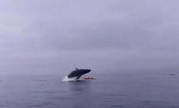 Baleia-jubarte saltou fora da água e atingiu caiaque (Foto: Reprodução/YouTube/Sanctuary Cruises)
