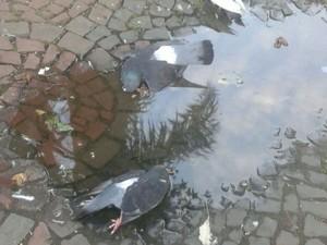 Prefeitura suspeita que pombas tenham sido envenenadas (Foto: Bruna Camello/ Arquivo Pessoal)