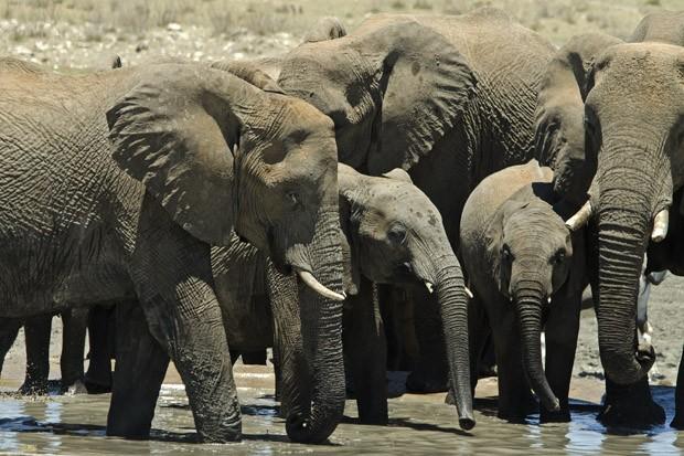 Uma manada de elefantes conduzida por uma matriarca chega a um dos inúmeros pontos de água de Etosha (Foto: © Haroldo Castro/ÉPOCA)