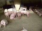 Criação de suínos passa por grave crise em várias regiões do Brasil