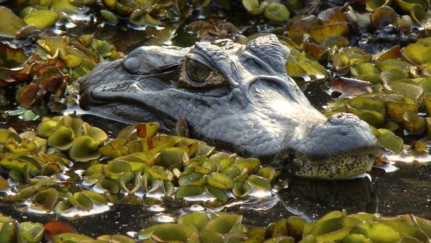 Essa espécie vive em brejos, mangues, lagoas, riachos e rios (Foto: Eduardo Sozo / TG)