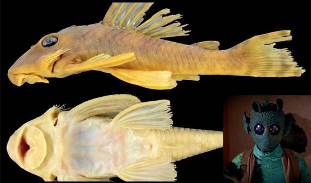 A espécie 'Peckoltia greedoi' recebeu este nome em homenagem ao personagem Greedo, um caçador de recompensas da série 'Star Wars' (Foto: Reprodução/YouTube/Auburn University e Divulgação)