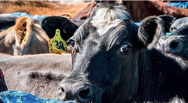 vaca-leite-nova-zelandia (Foto: Divulgação)