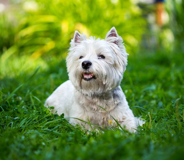 West Highland White Terrier lies in green grass (Foto: Getty Images/iStockphoto)
