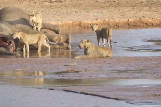 Leões e o crocodilo se enfrentaram na reserva africana por causa de carcaça de elefante (Foto: Reprodução/YouTube/ Kai Banks)