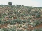 Sítios da região somam prejuízos de R$ 1,4 milhão após chuva de granizo