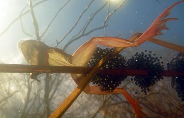 Sapo da espécie Lithobates sylvaticus, ou 'sapo madeira', põe ovos na superfície de uma lagoa: muitos anfíbios como ele estão se reproduzindo mais cedo na primavera, com o aumento da temperatua  (Foto: Mark Urban/Divulgação)