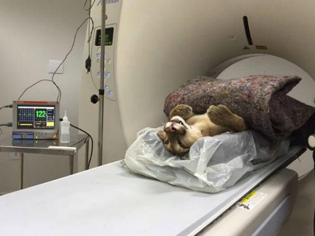 Animal passa por tratamento na ONG Mata Ciliar, em Jundiaí (Foto: Divulgação / ONG Mata Ciliar)