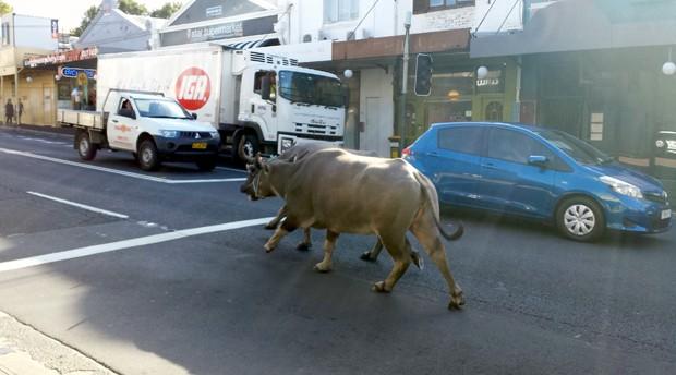Búfalos escaparam durante gravação de comercial e foram flagrados andando pelas ruas de Sydney, na Austráia (Foto: Abril Felman/Reuters)
