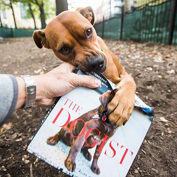 - Friedman também faz barulho para chamar a atenção dos cães. O fotógrafo afirma que um cão de uma raça incomum, com uma tosa diferente ou um cão cuja mistura de raças ele nunca viu é o que chama sua atenção. Acima, um dos cães de Nova York mastiga uma edição do livro (Foto: The Dogist, LLC)