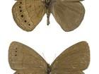 Pesquisadores descobrem espécie de borboleta na Mata Atlântica do RS