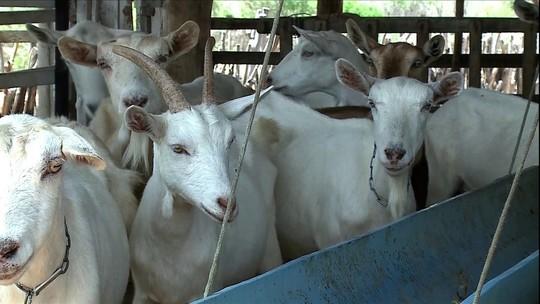 Seca afeta a produção de leite de cabra em Pernambuco
