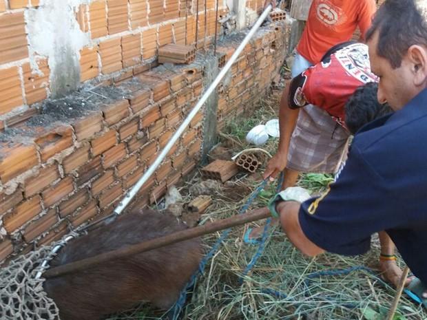 Bombeiro captura capivara em terreno em Araçatuba (Foto: Divulgação/Corpo de Bombeiros)
