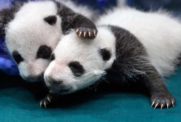 O panda gigante foi por anos um ícone mundial das espécies ameaçadas (Foto: Kin Cheung/AP)
