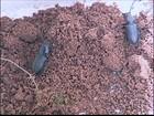Praga nos canaviais de SP prejudica o crescimento das plantas