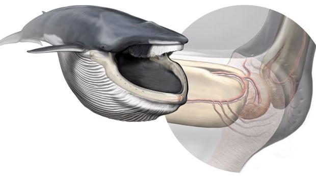 Ilustração mostra onde fica o órgão recém-descoberto das baleias (Foto: Carl Buell/Nicholas D. Pyenson/Smithsonian Institution)