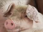 Preço do suíno cai e preocupa criadores de São Paulo