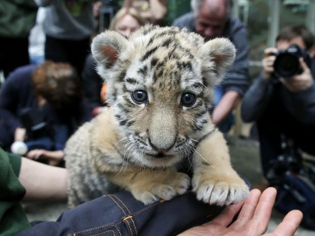 Tigresa Alisha é a única sobrevivente de ninhada de três tigres (Foto: Reuters/Fabrizio Bensch)