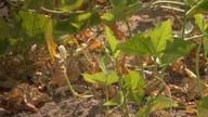 Seca prejudica plantação de feijão de corda na região de Feira de Santana