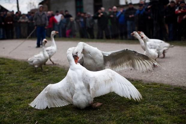 venda de ganso de canada