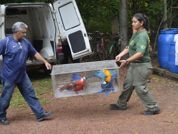 Araras sendo transportadas por técnicos do Ibama em Santana, no Amapá (Foto: John Pacheco/G1)