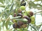 Valorização do azeite incentiva investimentos no cultivo da azeitona