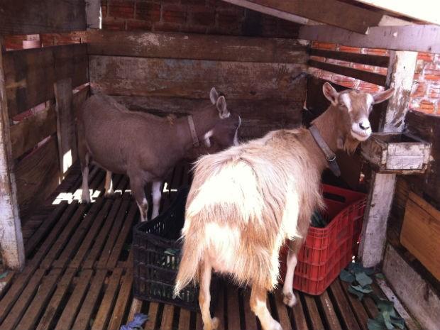 Cabras criadas pelo coletivo, cuja sede fica no bairro Mossunguê (Foto: Thais Kaniak / G1)