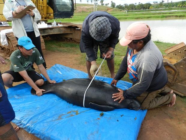 Animais em estágio de 'pré-soltura' são medidos e pesados após um ano  (Foto: Jamile Alves/G1 AM)