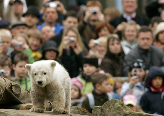 Knut é observado no Zoológico de Berlim em dezembro de 2007 (Foto: Reuters)