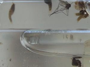 Aedes aegypti (Foto: Reprodução/Rede Amazônica Acre)