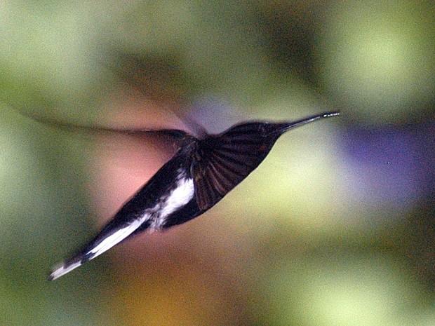 Beija-flor, no Museu de Biologia Mello Leitão (Foto: Gildo Loyola/ A Gazeta - 05/09/2006)