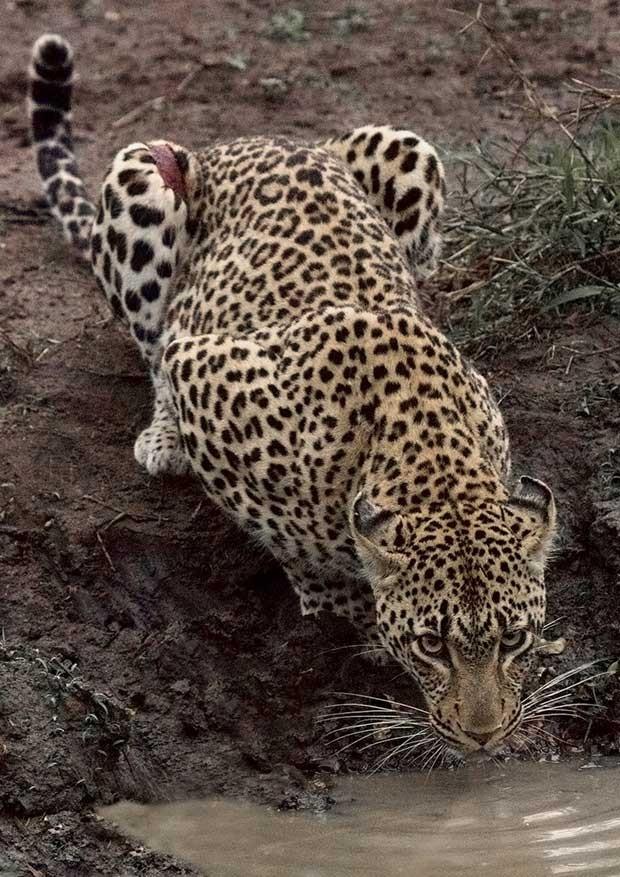 Leopardo na África (Fot Kirstin Abley/Divulgação)