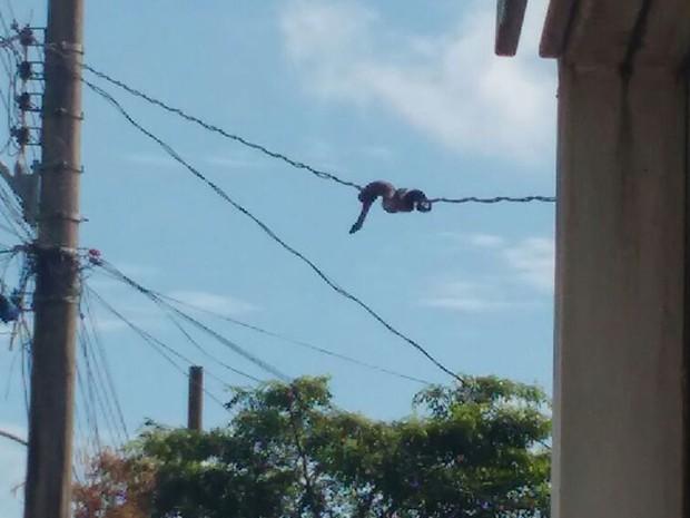Jiboia enrolada em fiação de poste de Santa Maria, no Distrito Federal (Foto: Corpo de Bombeiros DF/Divulgação)