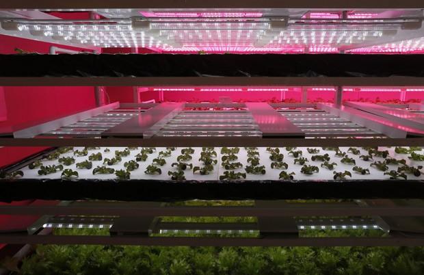 Fazenda cultiva vegetais com a ajuda da luz de LED (Foto: AP Photo/Wally Santana)